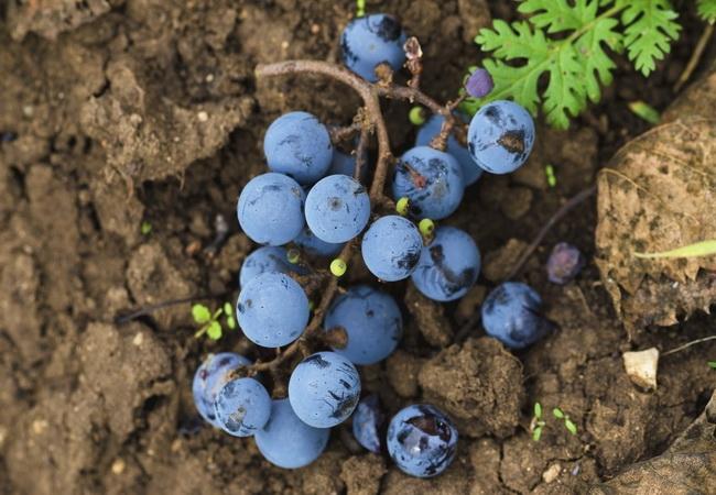 本頁圖片/檔案 - winegrape-002