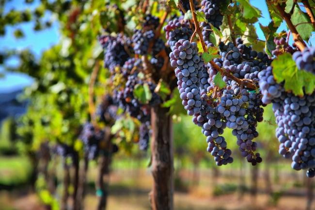 本頁圖片/檔案 - pinot-noir-grape
