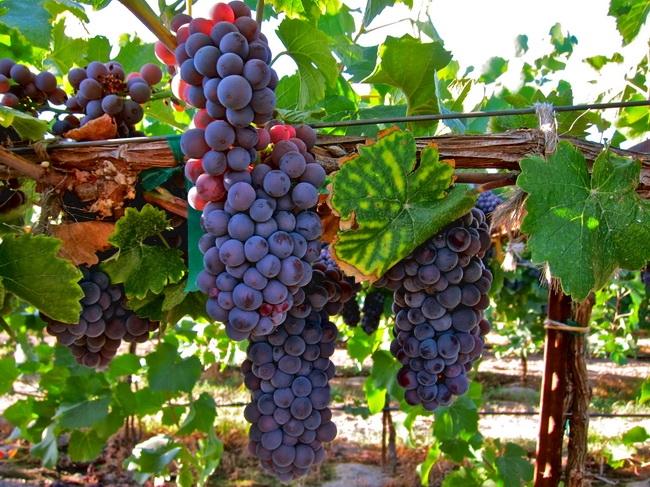 本頁圖片/檔案 - winegrape -088