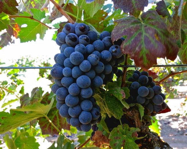 本頁圖片/檔案 - winegrape - 079