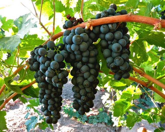 本頁圖片/檔案 - winegrape-085